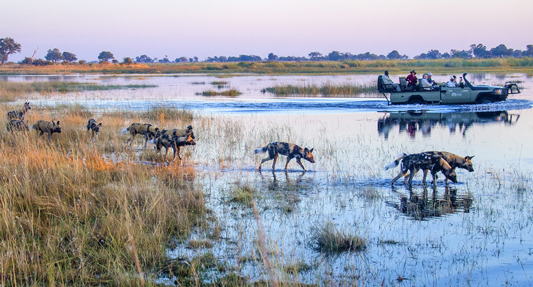 okavango-delta-tours-from-usa-with-lion-dog-african-safaris